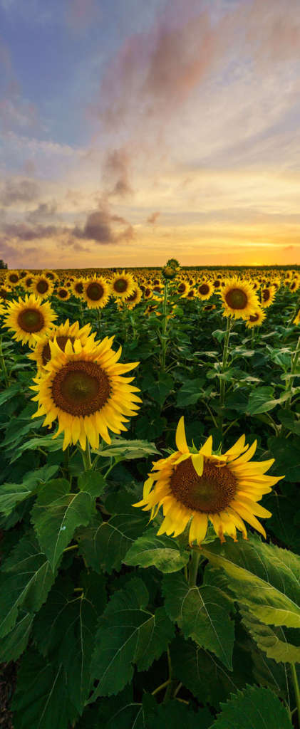 Sunflower Vertical copy 2